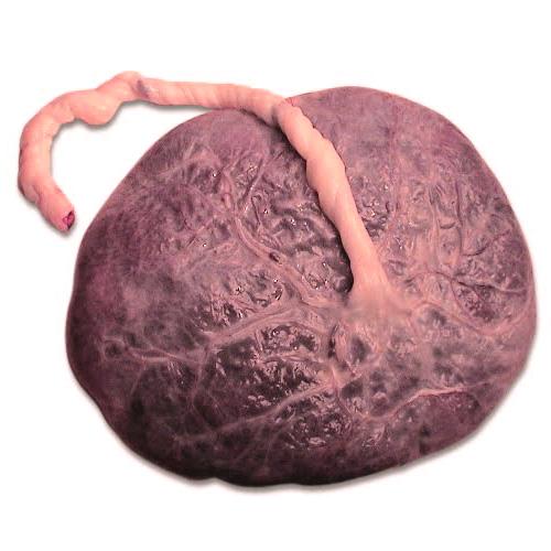 Placenta vient du mot Gâteau en latin